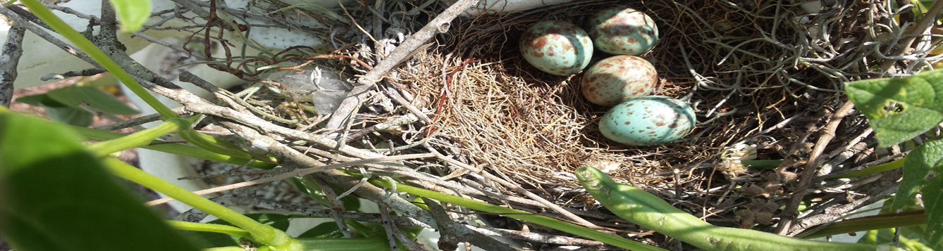 MockingBird next with eggs