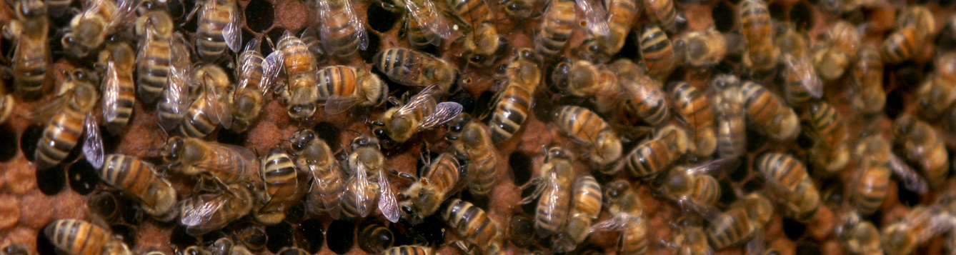 Bees on a honeycomb at the UF/IFAS bee unit. UF/IFAS Photo: Thomas Wright 2005