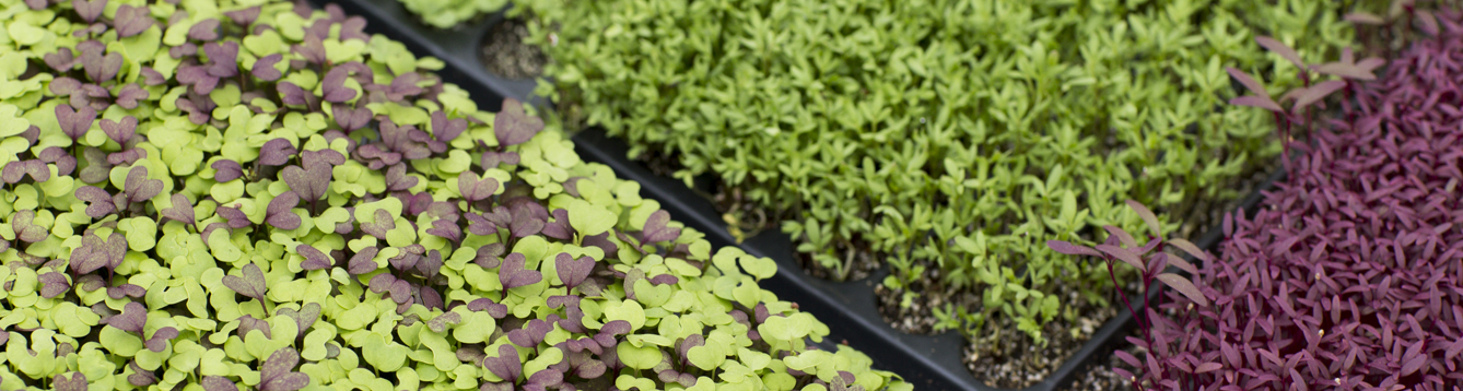 A variety of microgreens in a greenhouse. Photo taken on 03-14-17.
