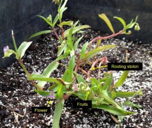 doveweed rooting stolon, flower and fruits