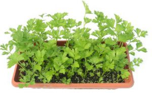 Growing Cut Celery in a Container