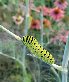 Swallowtail Caterpillar on Cut Celery
