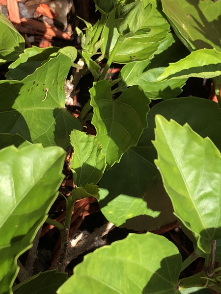 Insect Eating Hibiscus Leaves And Cutting Off Flower Buds Ufifas