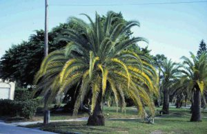 Palm with a nutrient deficiency