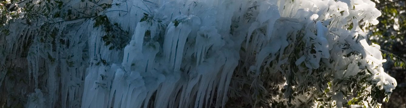 ice on tree from cold protection irrigation
