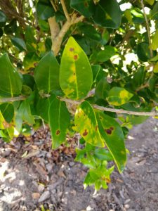 ligustrum leaf spot small