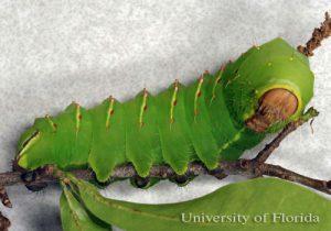 polyphemus moth larvae