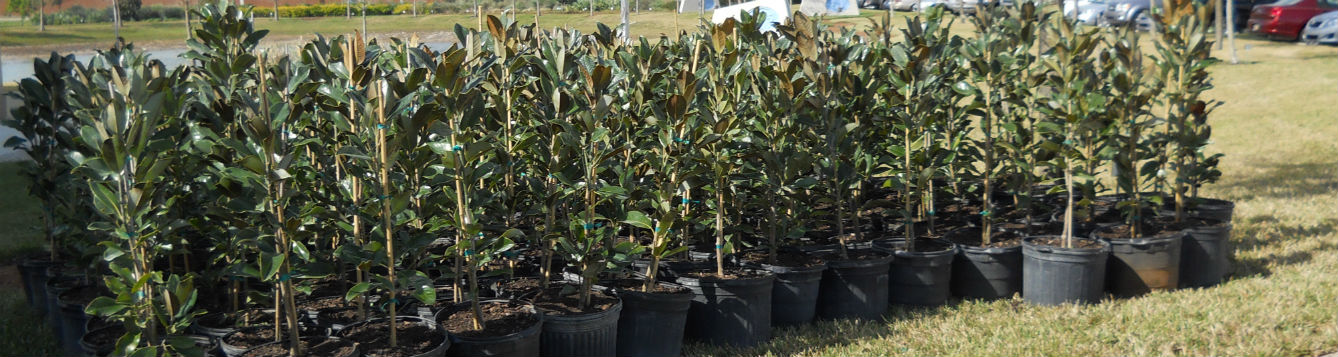 magnolias for tree giveaway