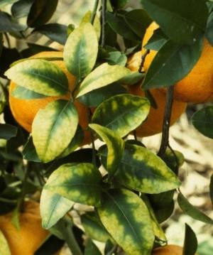 Citrus leaves showing nutrient deficiency
