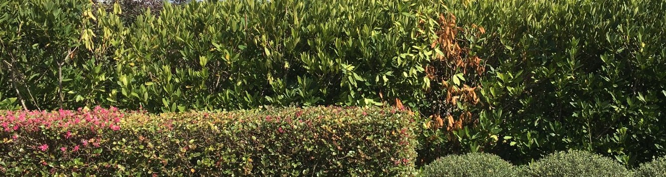 Hedge with one dead shrub