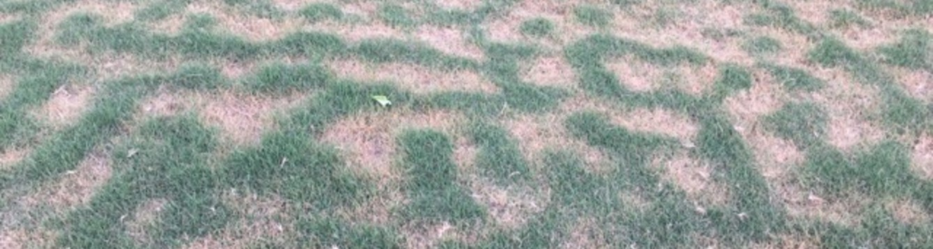 Frost damage pattern on bermuudagrass.