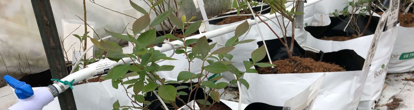 blueberry plants growing in bags of coconut coir