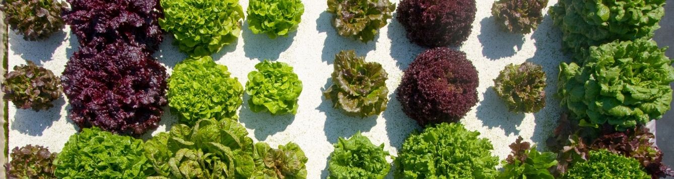 hydroponic lettuces in growing tray