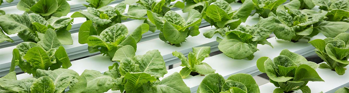 rows of lettuce grown hydroponically