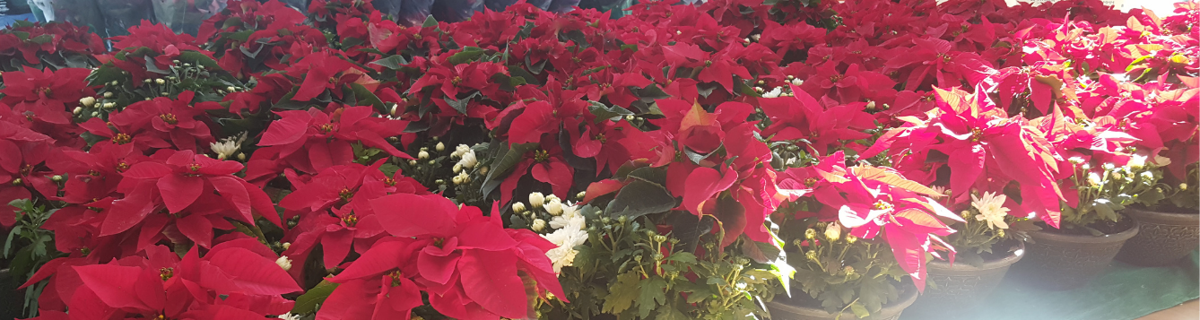 poinsettias with mums