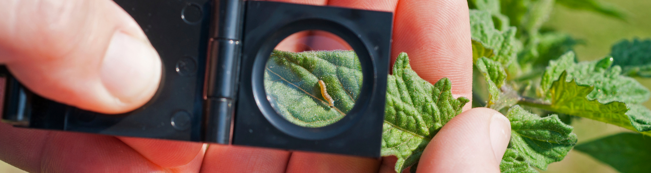 using a magnifying glass to scout for a caterpillar on a plant
