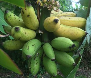 Ripe apple bananas