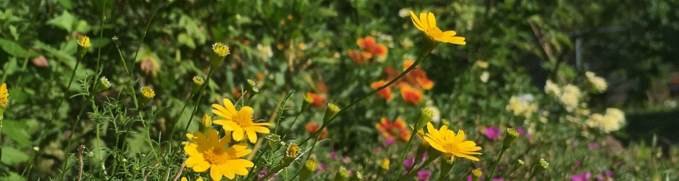Vibrant flowers selected for drought tolerance
