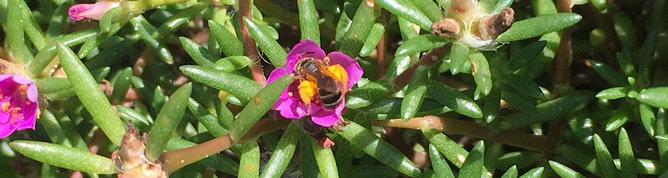 Pollinator bee visiting Portulaca flower