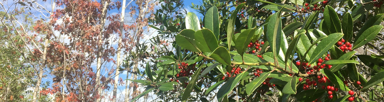 Fall color in Florida - holly berries and red leaves