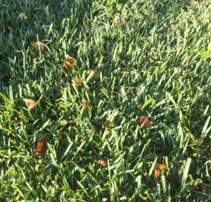 Healthy, lush turf