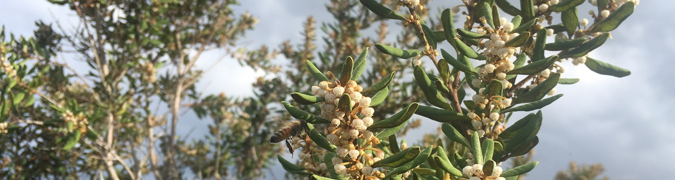 Rusty lyonia flowering with bee