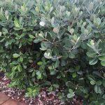 Feijoa a.k.a. pineapple guava