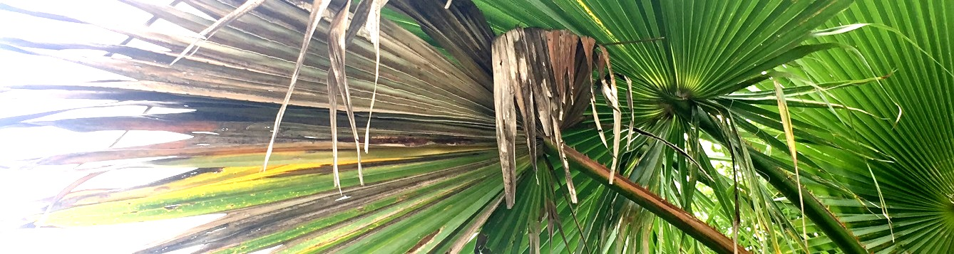 Discolored, ragged palm leaf