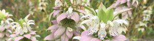 Monarda punctata flowers