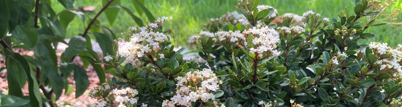 Flowering shrub in dappled sunlight - Walter's viburnum