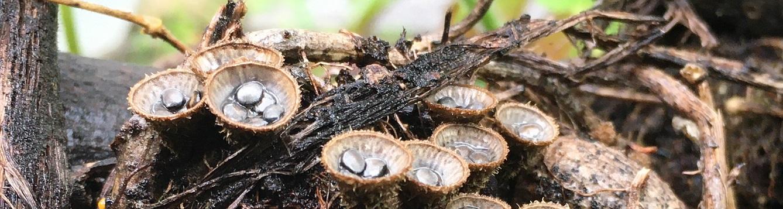 Close-up photo of Bird's nest fungus splash cups in soil