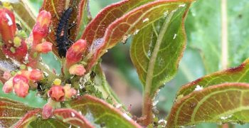 Aphids feed on firebush leaves. Ladybug larva feeds on aphids.