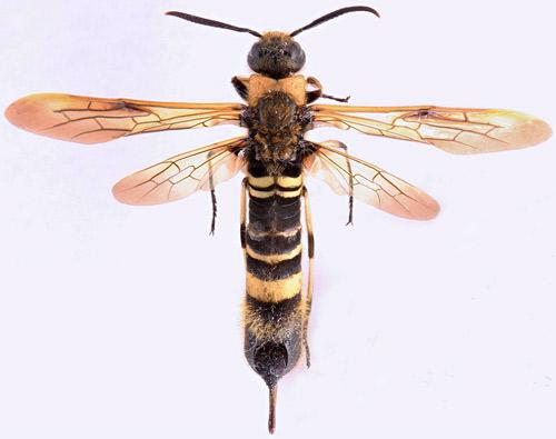Figure 1. Adult female wood wasp, Eriotremex formosanus(Matsumura). Photograph by You Li, University of Florida.