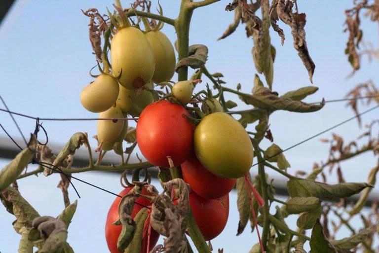 tomatopsy