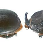 Oryctes_rhinoceros03
