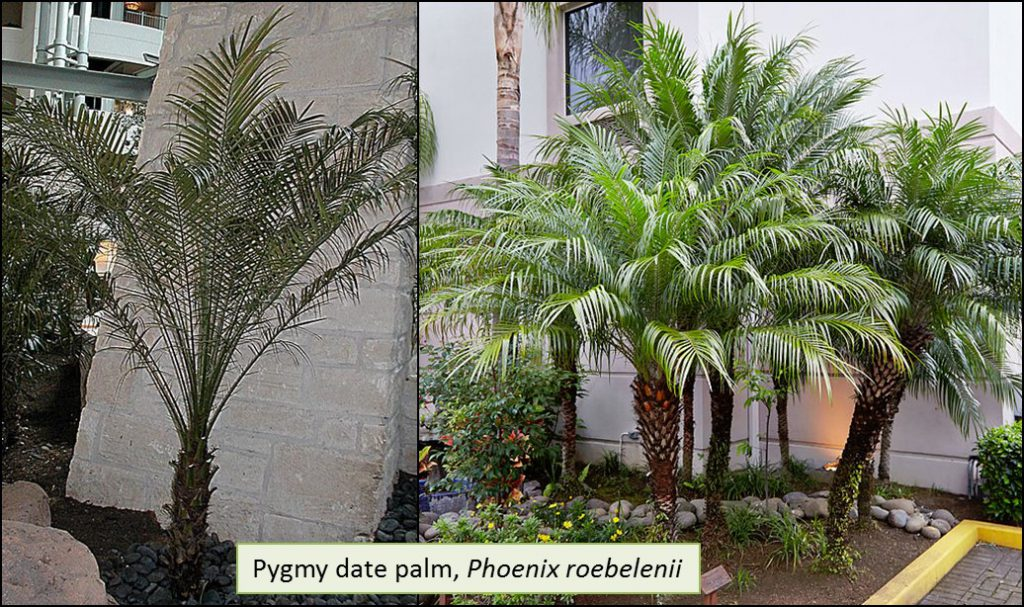 What Is Killing My Pygmy Date Palm