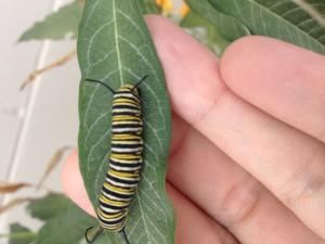 milkweed caterpillar