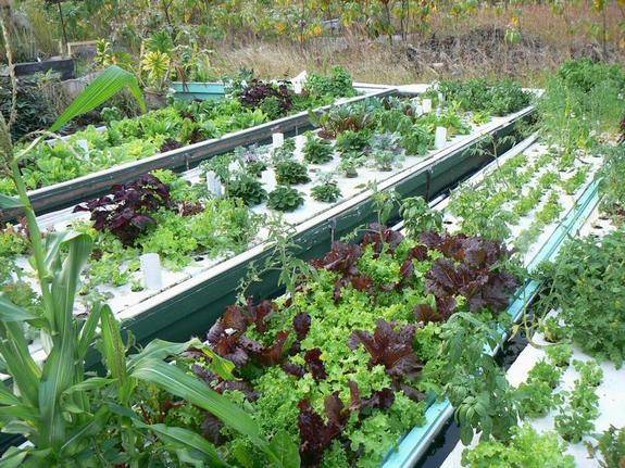 Fish   Plants   Aquaponics  Ifas Extension Pinellas County