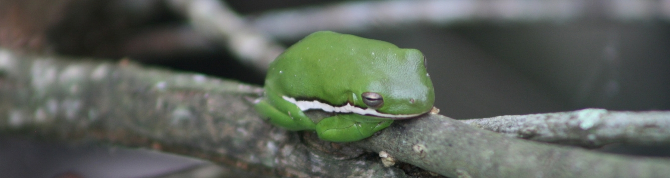 Green treefrog on branch at Brooker Creek Preserve in Tarpon Springs, FL.