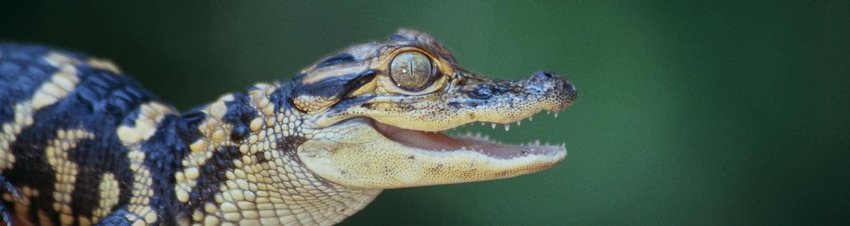 Baby alligator. IFAS Photo 006759