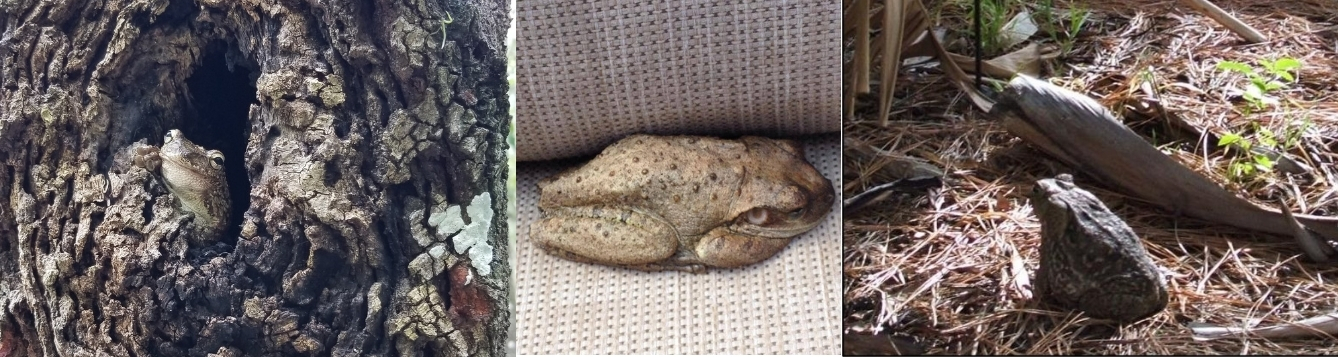 A Cuban treefrog in a tree (left), a large Cuban treefrog on porch furniture, and a cane toad in mulch