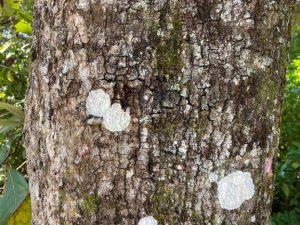 Smoother appearing bark of laurel oak tree
