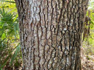 Bark of live oak tree