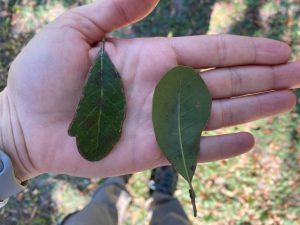 Leaves of live oak tree