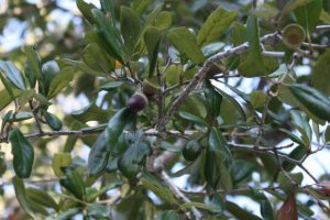 Fruit (acorns) of live oak tree