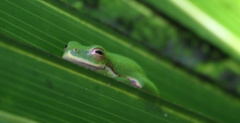 Treefrog resting on saw palmetto frond.