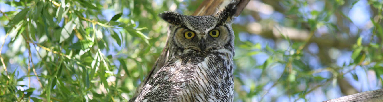 Close up of a great horned owl in a tree