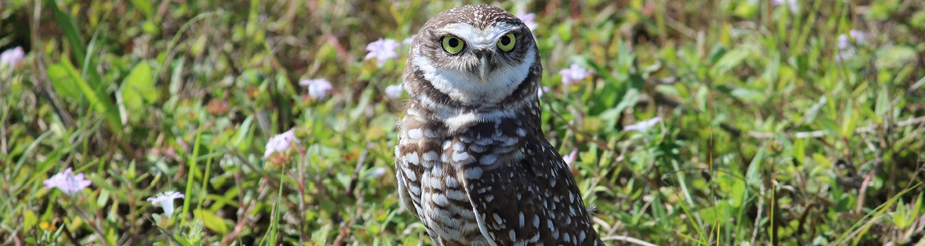 A burrowing owl in a field
