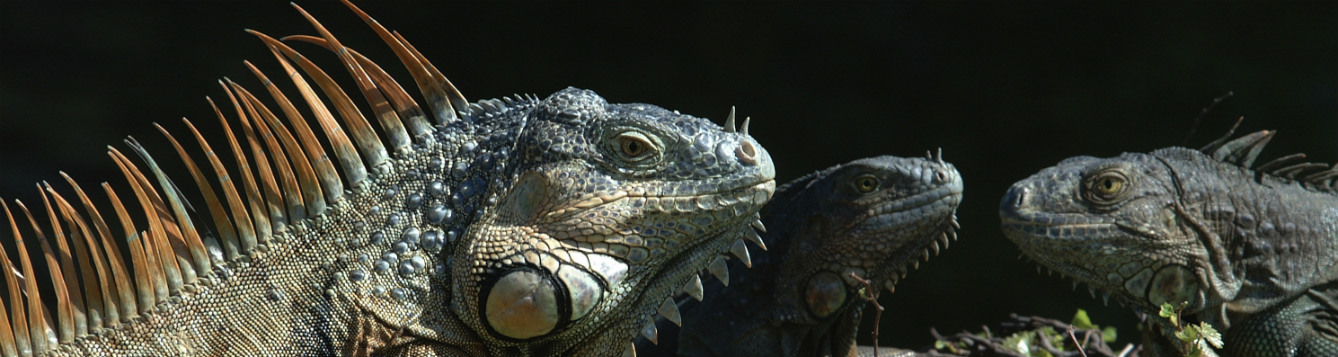 Close up photo of a large green iguana