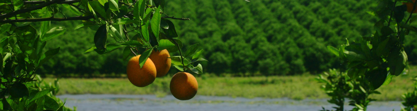 Close up image of three oranges on the branch. In the distance, a lake and an orange grove.